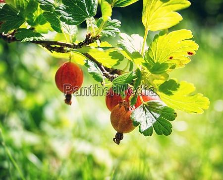 gooseberries twig in the garden
