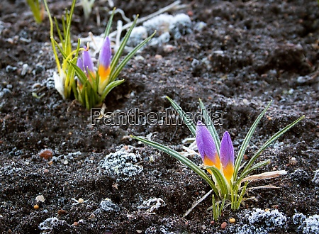 crocus flowers in early morning