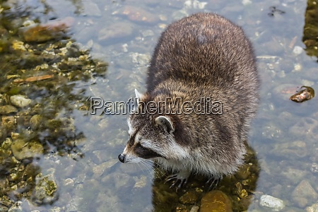 little racoon stands in the water