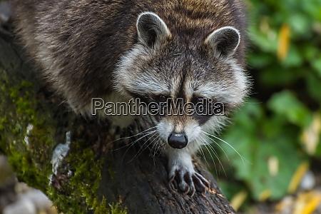 racoon on a tree trunk walks