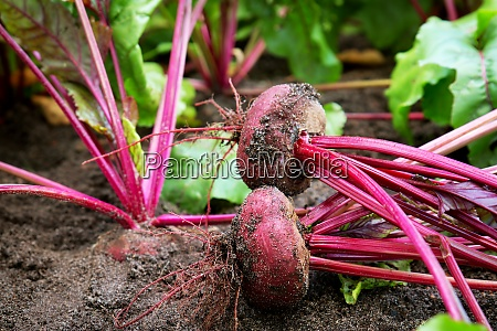 beetroot in the ground