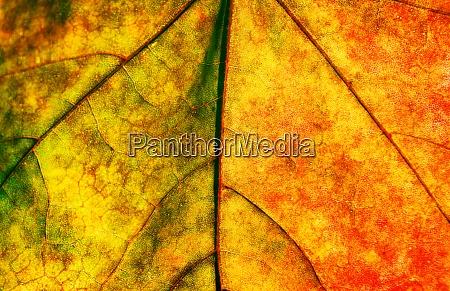 maple leave texture