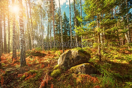 birch and fir forest panorama