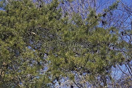 virginia pine tree with cones