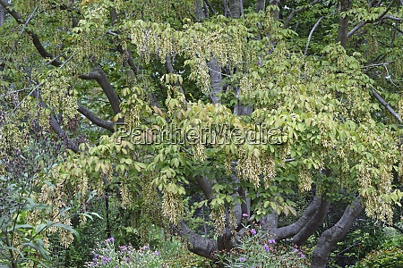 henrys maple tree with seeds