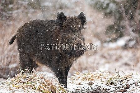 big wild boar walking on meadow