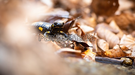 fire salamander hiding in dry orange
