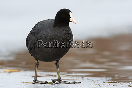 eurasian coot standing on ice in