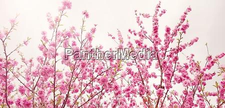 blurred sakura tree background