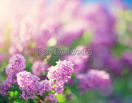 lilac flowers blooming outdoors