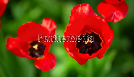 red tulips in flowerbeds in the