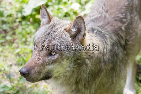 the european wolf canis lupus