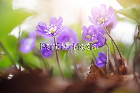 anemone hepatica flowers in the spring