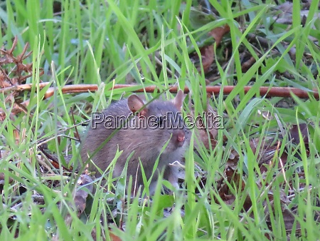 beautiful mouse in the countryside looking
