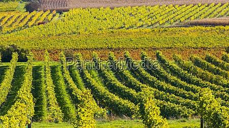 autumn vineyard near langenlois lower austria