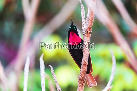 scarlet chested sunbird chalcomitra senegalensis ethiopia