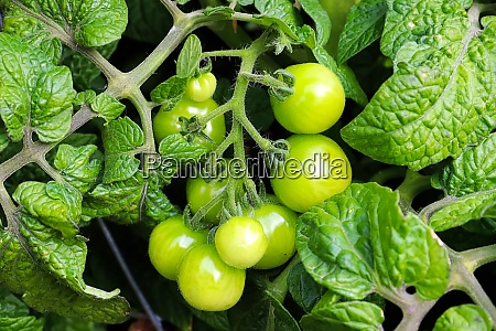 closeup of small green tomatoes growing