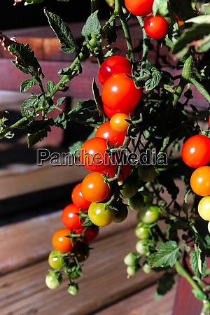vertical photo of clusters of tomatoes