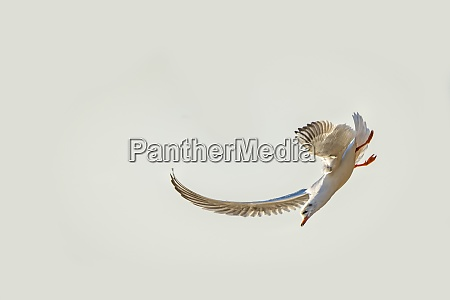 black headed gull flying deep over