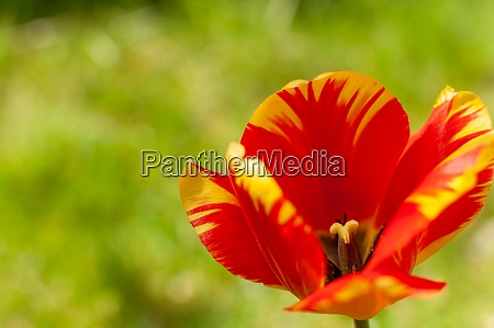 red yellow tulip flower on a