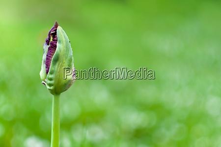 tulip flower bud on a blurred