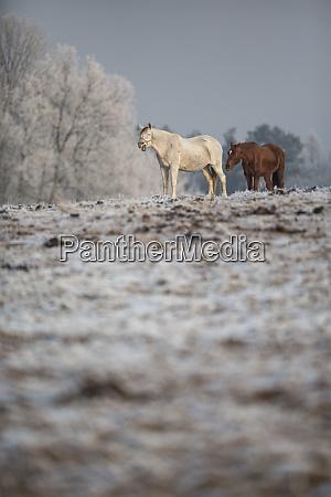 beatiful horses in winter on fresh