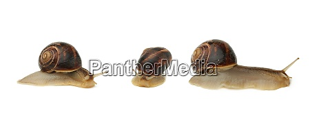 brown snail isolated on white background