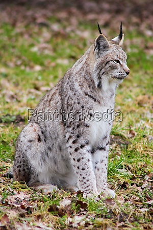 portrait the eurasian lynx northern lynx