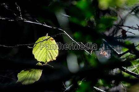 alder leaf alnus glutinosa illuminated in