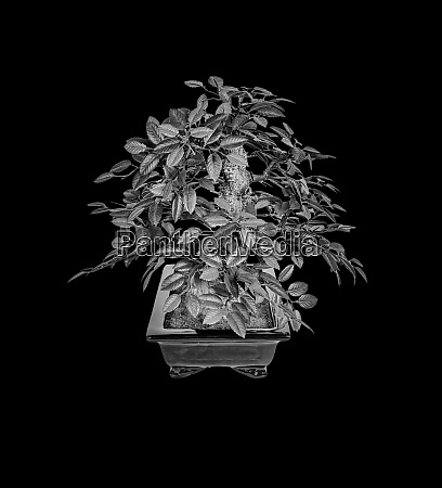 bonsai silhouette tree isolated on a