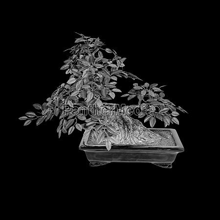 bonsai tree isolated on a black