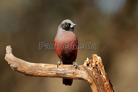 black faced waxbill perched on a