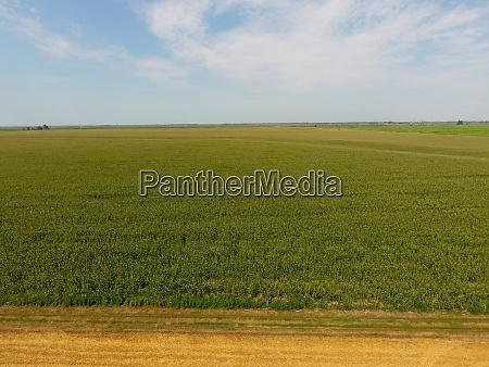 field of corn and part of