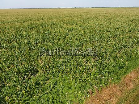 field of corn green corn blooms