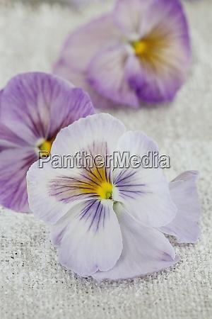 nostalgic flower still life with pansies