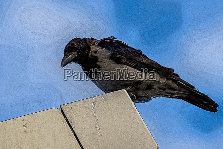hooded crow corvus corone cornix l
