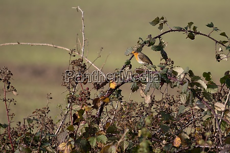 robin perched on a bramble on