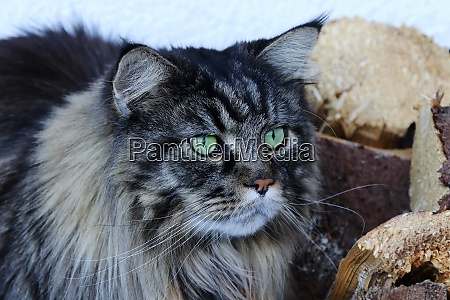 male maine coon cat hunting a