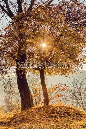 fall birch tree with sunlight