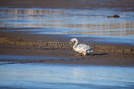 dirty white swan on muddy empty