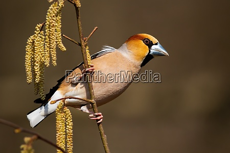 dominant hawfinch male perched on a