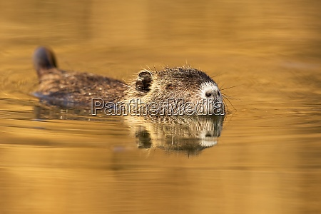 nutria looking from water with nose