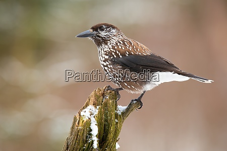 spotted nutcracker resting on bough in