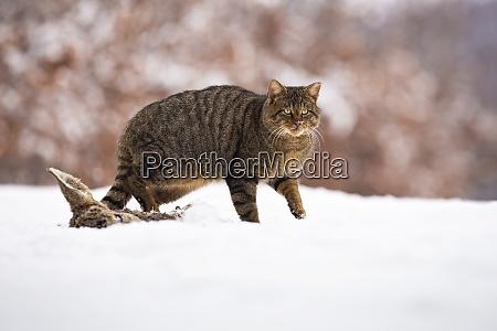 european wildcat walking on snow in