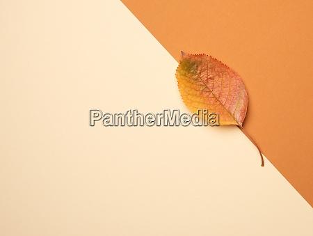 yellow cherry leaf on a beige