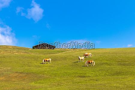 haflinger horses on seiser alm alpe
