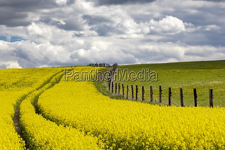 rapeseed field in central bohemia czech