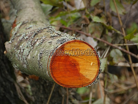 cut alder tree with annual ring