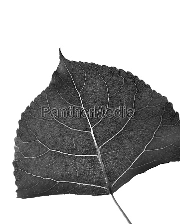 leaf of cottonwood in black and
