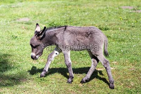 donkey offspring equua asinus asinus in